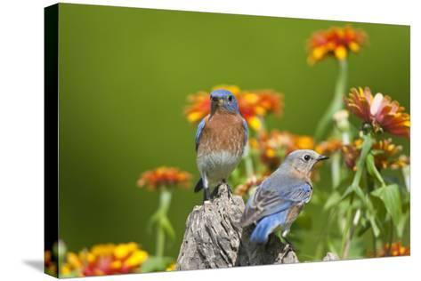 Eastern Bluebirds on Fence Post, Holmes, Mississippi, Usa-Richard ans Susan Day-Stretched Canvas Print