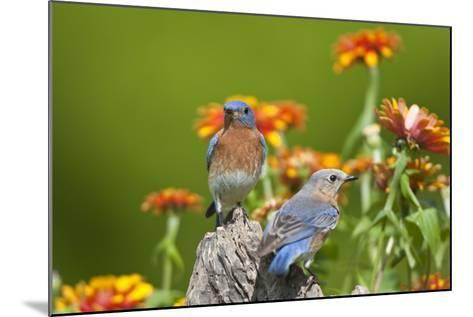 Eastern Bluebirds on Fence Post, Holmes, Mississippi, Usa-Richard ans Susan Day-Mounted Photographic Print