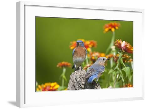 Eastern Bluebirds on Fence Post, Holmes, Mississippi, Usa-Richard ans Susan Day-Framed Art Print