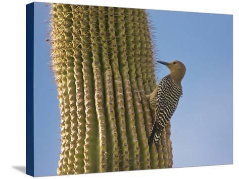 Gila Woodpecker on Saguaro, Saguaro National Park, Arizona, Usa-Michel Hersen-Stretched Canvas Print