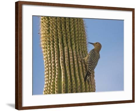 Gila Woodpecker on Saguaro, Saguaro National Park, Arizona, Usa-Michel Hersen-Framed Art Print