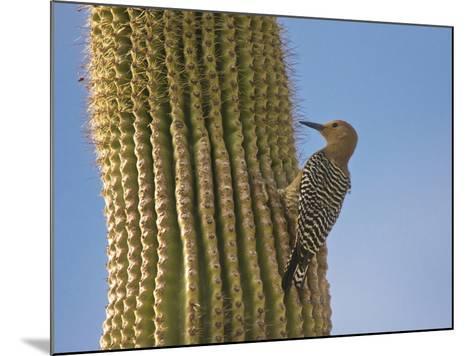 Gila Woodpecker on Saguaro, Saguaro National Park, Arizona, Usa-Michel Hersen-Mounted Photographic Print