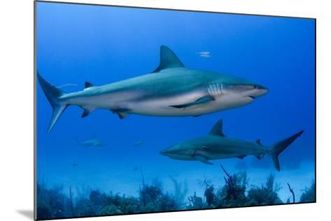 Caribbean Reef Shark, Jardines De La Reina National Park, Cuba-Pete Oxford-Mounted Photographic Print