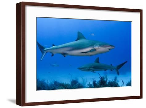 Caribbean Reef Shark, Jardines De La Reina National Park, Cuba-Pete Oxford-Framed Art Print