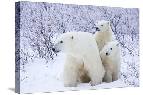 Polar Bears, Female and Two Cubs, Churchill Wildlife Area, Mb-Richard ans Susan Day-Stretched Canvas Print