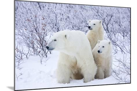 Polar Bears, Female and Two Cubs, Churchill Wildlife Area, Mb-Richard ans Susan Day-Mounted Photographic Print