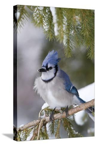 Blue Jay in Spruce Tree in Winter, Marion, Illinois, Usa-Richard ans Susan Day-Stretched Canvas Print
