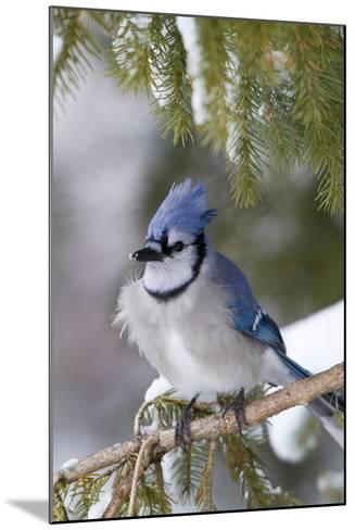 Blue Jay in Spruce Tree in Winter, Marion, Illinois, Usa-Richard ans Susan Day-Mounted Photographic Print
