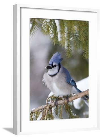 Blue Jay in Spruce Tree in Winter, Marion, Illinois, Usa-Richard ans Susan Day-Framed Art Print