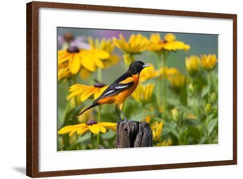 Baltimore Oriole on Post with Black-Eyed Susans, Marion, Illinois, Usa-Richard ans Susan Day-Framed Art Print