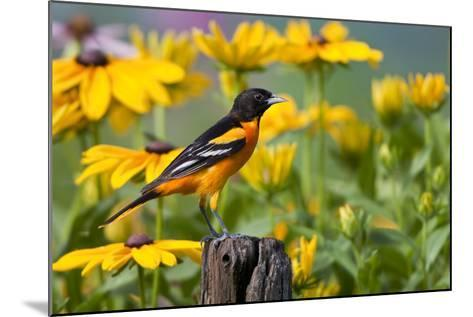 Baltimore Oriole on Post with Black-Eyed Susans, Marion, Illinois, Usa-Richard ans Susan Day-Mounted Photographic Print