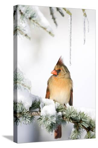 Northern Cardinal on Blue Atlas Cedar in Winter, Marion, Illinois, Usa-Richard ans Susan Day-Stretched Canvas Print
