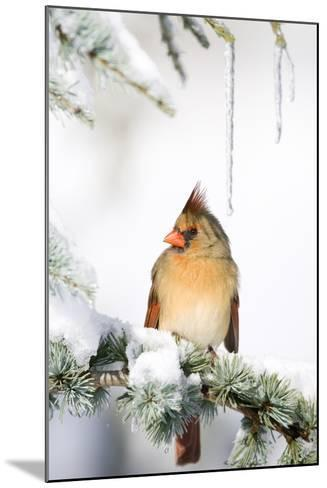 Northern Cardinal on Blue Atlas Cedar in Winter, Marion, Illinois, Usa-Richard ans Susan Day-Mounted Photographic Print