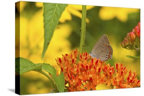 Coral Hairstreak Butterfly on Butterfly Milkweed, Marion Co., Il-Richard ans Susan Day-Stretched Canvas Print