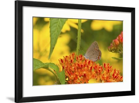 Coral Hairstreak Butterfly on Butterfly Milkweed, Marion Co., Il-Richard ans Susan Day-Framed Art Print