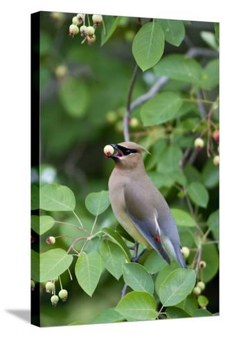 Cedar Waxwing Eating Berry in Serviceberry Bush, Marion, Illinois, Usa-Richard ans Susan Day-Stretched Canvas Print