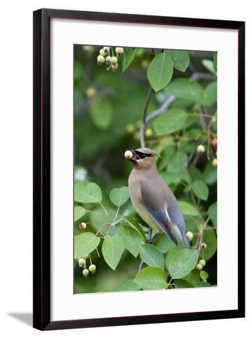 Cedar Waxwing Eating Berry in Serviceberry Bush, Marion, Illinois, Usa-Richard ans Susan Day-Framed Art Print