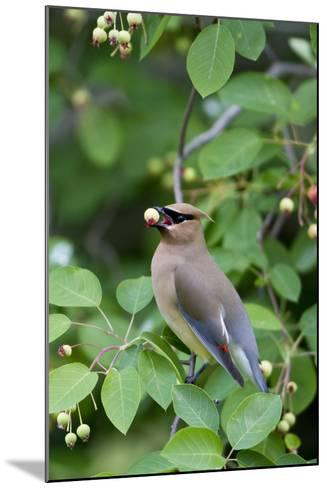 Cedar Waxwing Eating Berry in Serviceberry Bush, Marion, Illinois, Usa-Richard ans Susan Day-Mounted Photographic Print