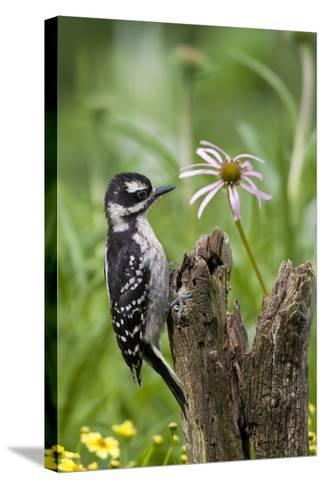 Hairy Woodpecker Female on Fence Post, Marion, Illinois, Usa-Richard ans Susan Day-Stretched Canvas Print