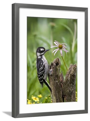 Hairy Woodpecker Female on Fence Post, Marion, Illinois, Usa-Richard ans Susan Day-Framed Art Print
