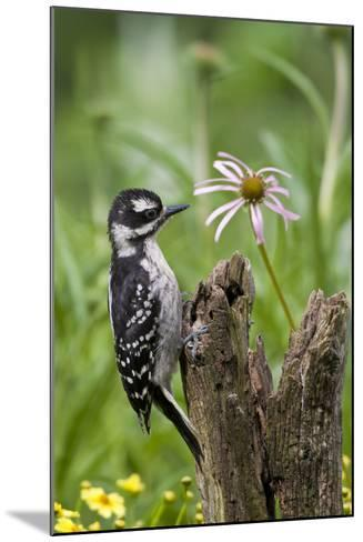 Hairy Woodpecker Female on Fence Post, Marion, Illinois, Usa-Richard ans Susan Day-Mounted Photographic Print