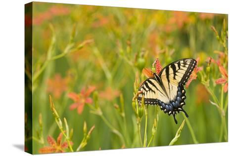 Eastern Tiger Swallowtail on Blackberry Lily, Marion Co. Il-Richard ans Susan Day-Stretched Canvas Print