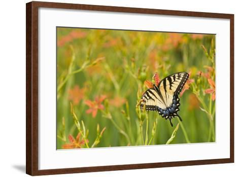Eastern Tiger Swallowtail on Blackberry Lily, Marion Co. Il-Richard ans Susan Day-Framed Art Print