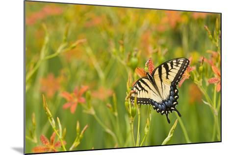 Eastern Tiger Swallowtail on Blackberry Lily, Marion Co. Il-Richard ans Susan Day-Mounted Photographic Print