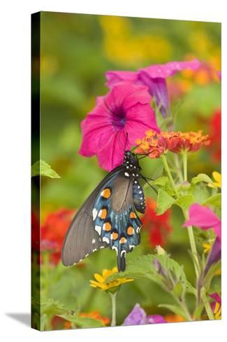 Pipevine Swallowtail on Red Spread Lantana, Marion Co. Il-Richard ans Susan Day-Stretched Canvas Print