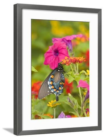 Pipevine Swallowtail on Red Spread Lantana, Marion Co. Il-Richard ans Susan Day-Framed Art Print