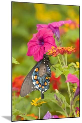 Pipevine Swallowtail on Red Spread Lantana, Marion Co. Il-Richard ans Susan Day-Mounted Photographic Print