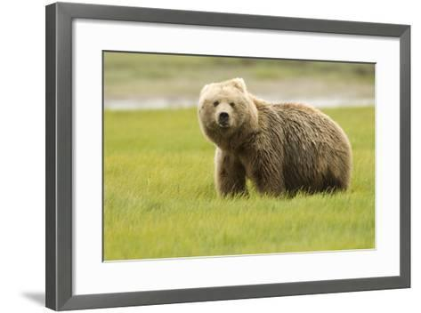 Alaskan, Brown Bear, Ursus Middendorffi, Katmai National Park, Alaska-Howie Garber-Framed Art Print