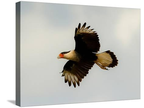USA, Texas, Mission, Martin's Javelina Northern Caracara Flying-Bernard Friel-Stretched Canvas Print
