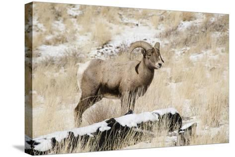 Big Horn Ram, North Fork Shoshone River, Near Cody, WYoming-Howie Garber-Stretched Canvas Print