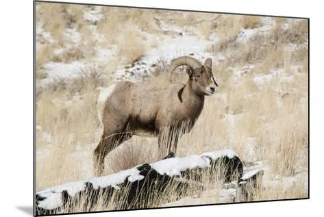 Big Horn Ram, North Fork Shoshone River, Near Cody, WYoming-Howie Garber-Mounted Photographic Print