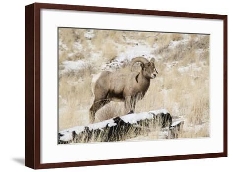Big Horn Ram, North Fork Shoshone River, Near Cody, WYoming-Howie Garber-Framed Art Print