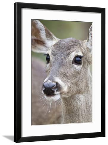 White-Tailed Deer Doe Drinking Water Starr, Texas, Usa-Richard ans Susan Day-Framed Art Print