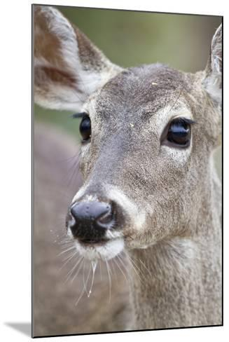 White-Tailed Deer Doe Drinking Water Starr, Texas, Usa-Richard ans Susan Day-Mounted Photographic Print