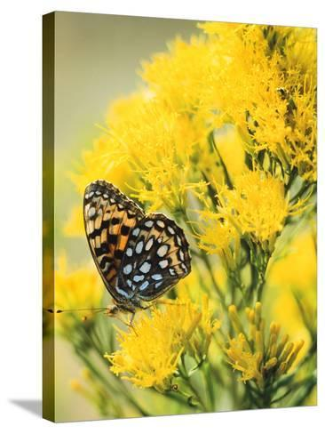 Coronis Fritillary, Nectaring on Rabbitbrush, WY-Howie Garber-Stretched Canvas Print