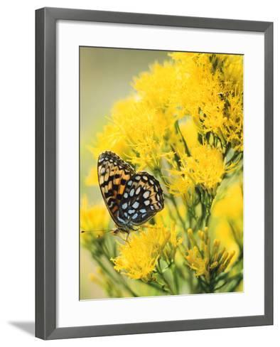 Coronis Fritillary, Nectaring on Rabbitbrush, WY-Howie Garber-Framed Art Print