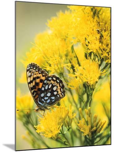 Coronis Fritillary, Nectaring on Rabbitbrush, WY-Howie Garber-Mounted Photographic Print