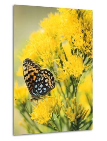 Coronis Fritillary, Nectaring on Rabbitbrush, WY-Howie Garber-Metal Print