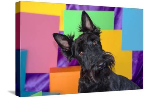 Scottish Terrier Portrait in Colors-Zandria Muench Beraldo-Stretched Canvas Print