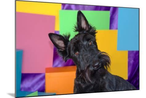Scottish Terrier Portrait in Colors-Zandria Muench Beraldo-Mounted Photographic Print