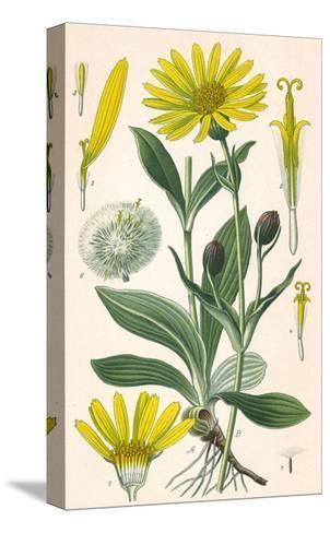 Plants, Arnica Montana--Stretched Canvas Print