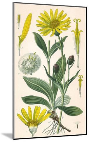 Plants, Arnica Montana--Mounted Giclee Print