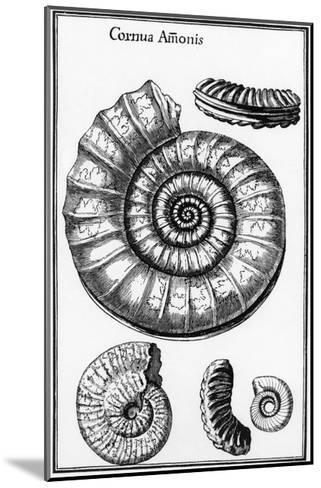 Ammonites--Mounted Giclee Print