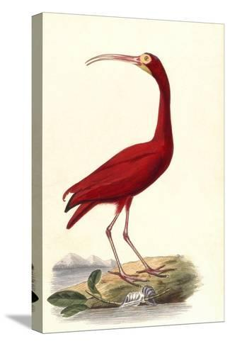Red Ibis--Stretched Canvas Print