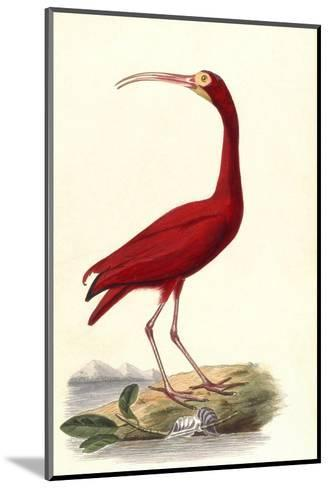 Red Ibis--Mounted Giclee Print