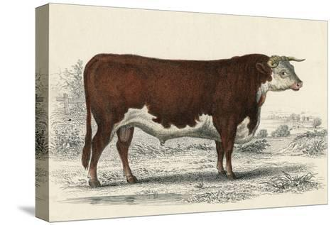A Hereford or Herefordshire Bull--Stretched Canvas Print